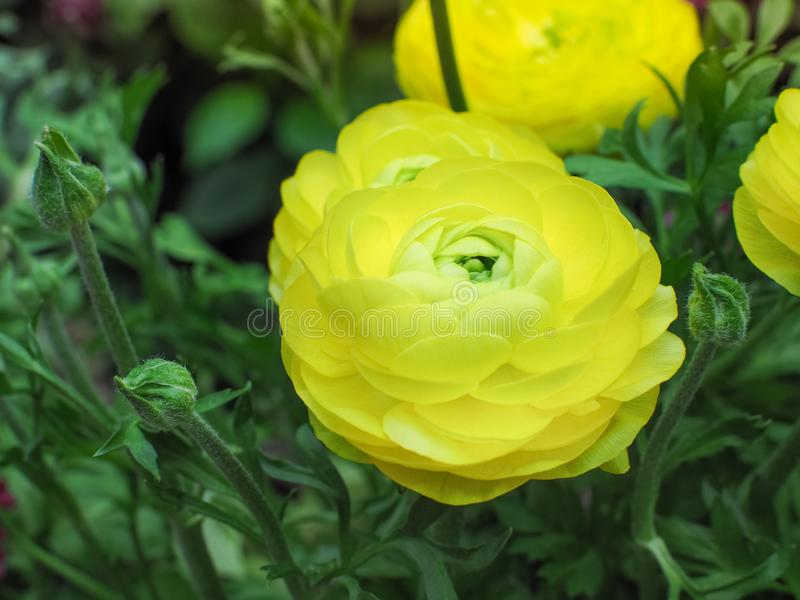 Ranunculus Asiaticus geel in Rose Garden stock fotografie