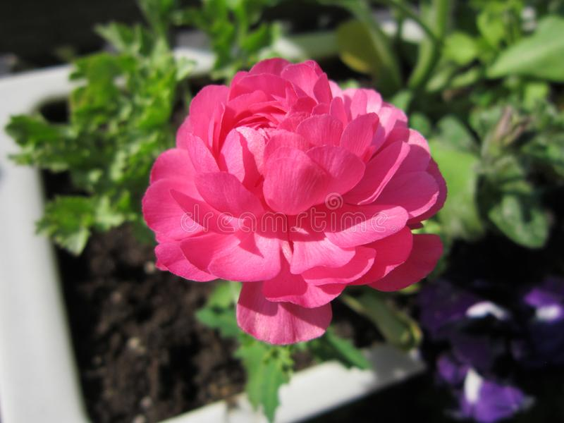 Ranunculus asiaticus or Persian buttercup. Beautiful pink flower grows in flower pot.  stock photography