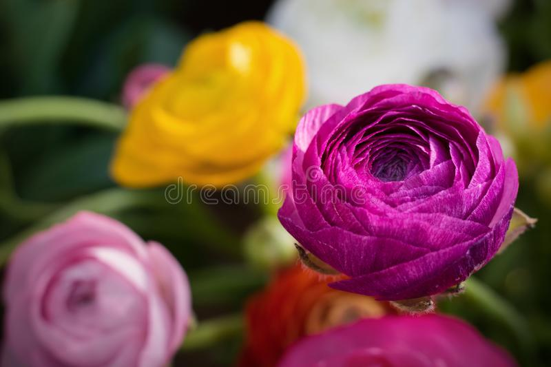 Ranunculus, one bright bright ultra violet flower on the background of defocused flowers in garden stock photo