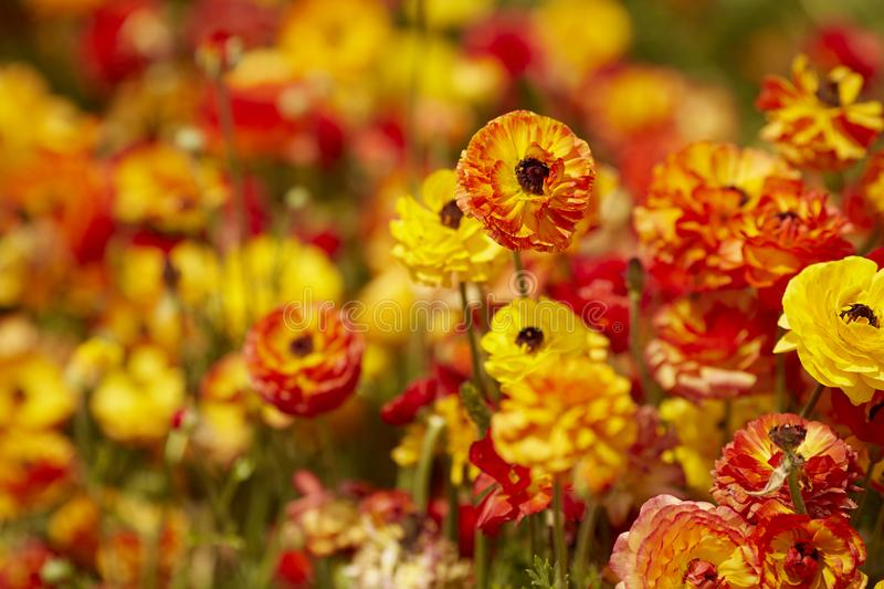 Ranunculus asiaticus red yellow Persian buttercup. Field with Ranunculus asiaticus red yellow, Persian buttercup royalty free stock photography