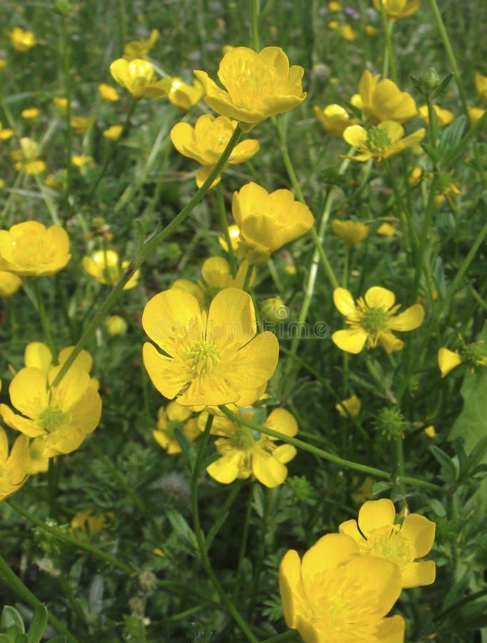 Free Ranunculus Bulbosus In Bloom Royalty Free Stock Photography - 172342787