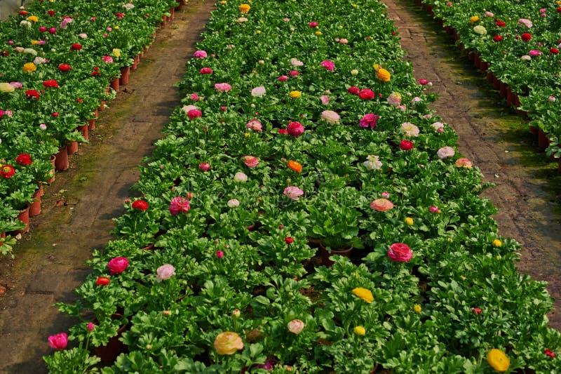Ranunculus de floraison image libre de droits
