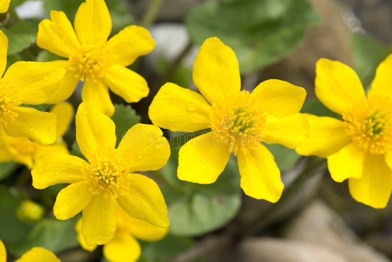 Ranunculus Ficaria royaltyfria bilder