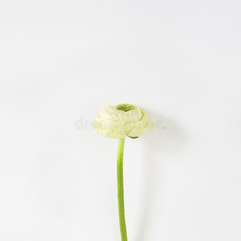Ranunculus frais blanc d'isolement sur le fond blanc images stock