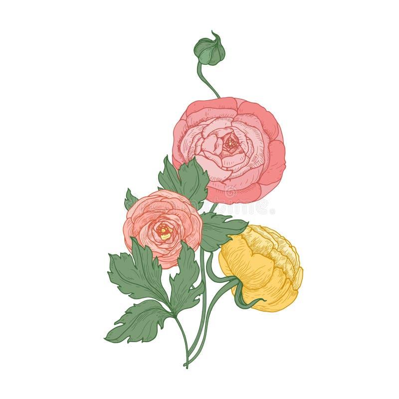 Ranunculus och smörblommablommor och knoppar som isoleras på vit bakgrund Elegant botanisk teckning av gruppen av kultiverat vektor illustrationer