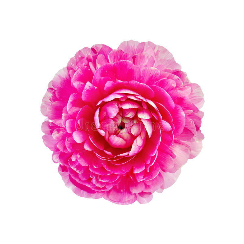 Ranunculus pink. One pink flower ranunculus isolated on white background stock photography