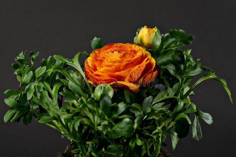 Ranunculus Pleniflora fotografia stock