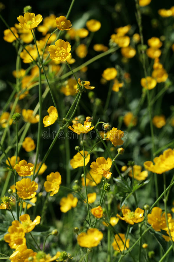 Ranunculus repens lizenzfreies stockfoto