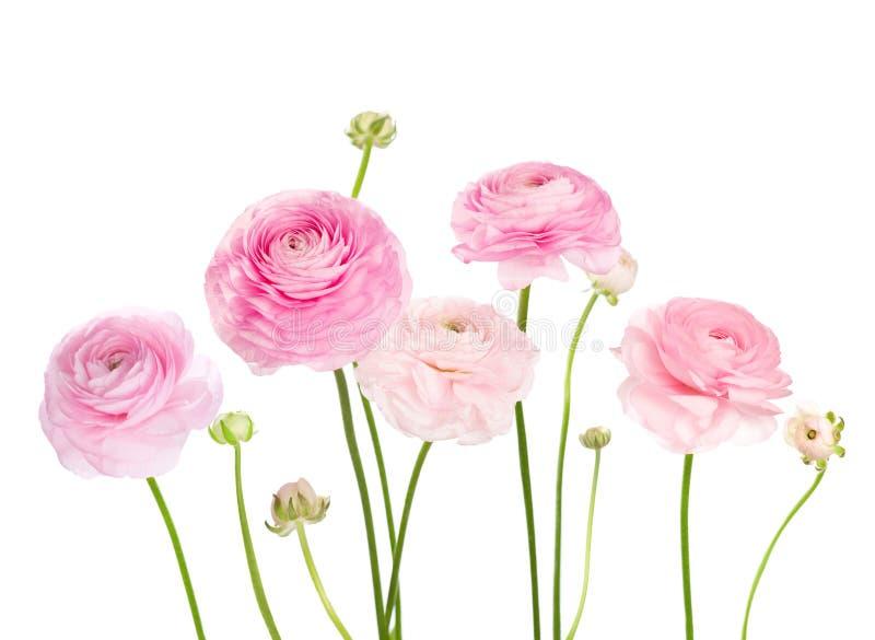 Ranunculus rosa-chiaro dei fiori isolato su fondo bianco fotografia stock libera da diritti