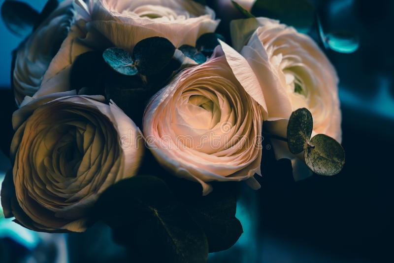 Ranunculus rose avec le fond bleu profond photo stock