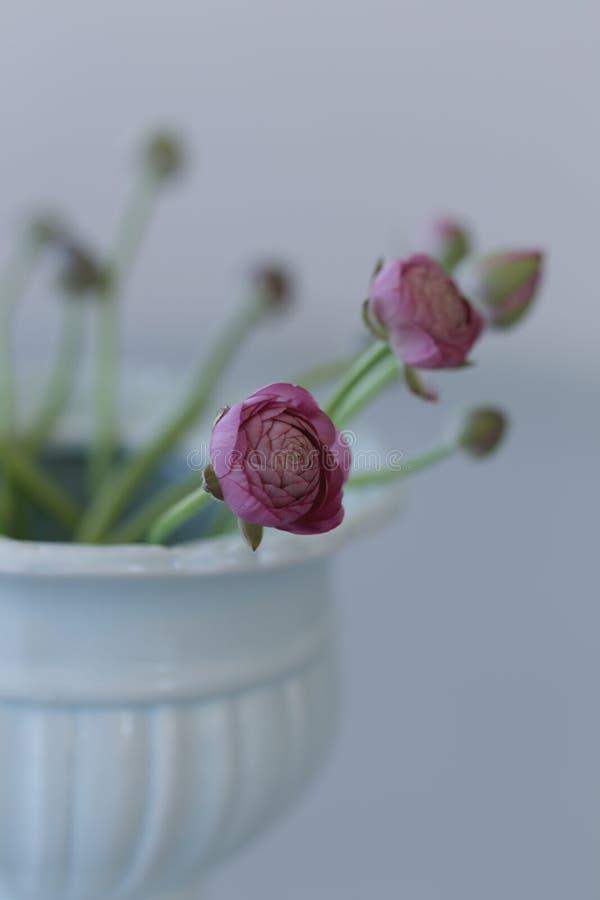 Ranunculus rose dans le vase en céramique photos stock