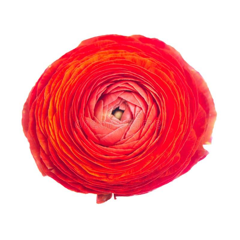Ranunculus rosso immagine stock libera da diritti