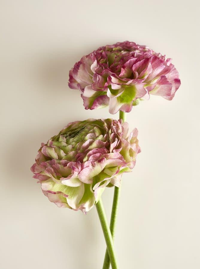 Ranunculus_Two_Pink и Green_02 стоковое фото rf