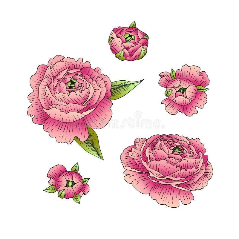 Ranunculus vector illustration