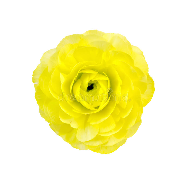 Ranunculus yellow. One yellow flower ranunculus isolated on white background stock photography