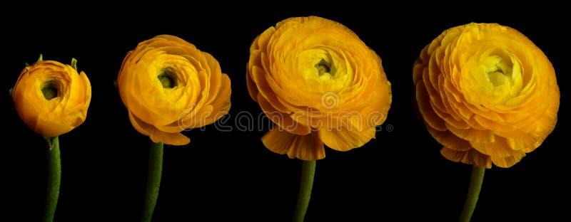 Ranunculusblommaserie royaltyfri foto
