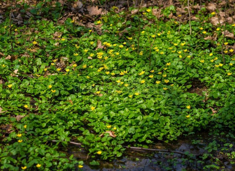 Ranunculusficariablommor royaltyfri foto