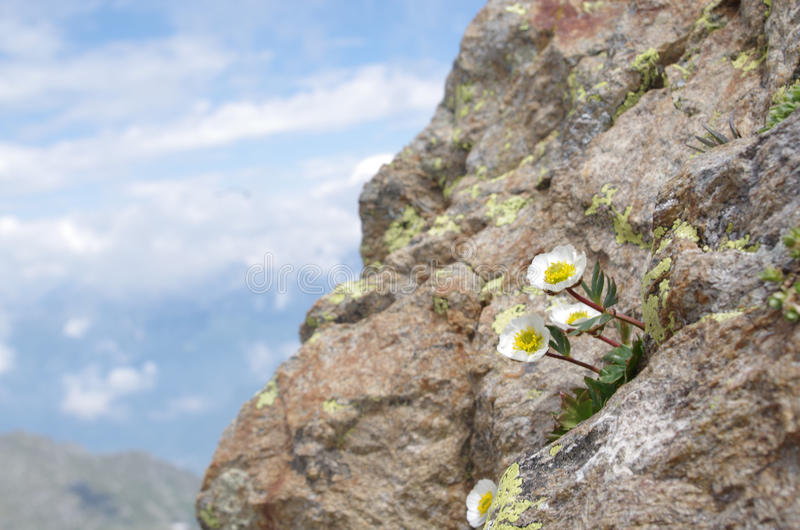 Ranunculusglacialis royaltyfri bild