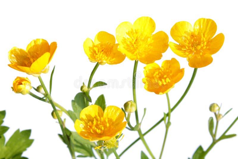 Ranunculusrepens (som kryper smörblomman) royaltyfri fotografi