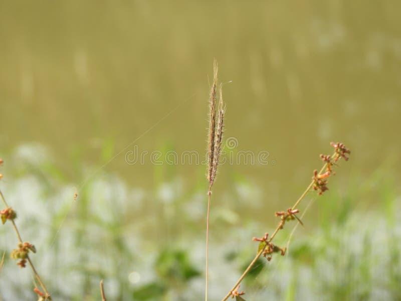 Ranunkelgräs royaltyfria bilder
