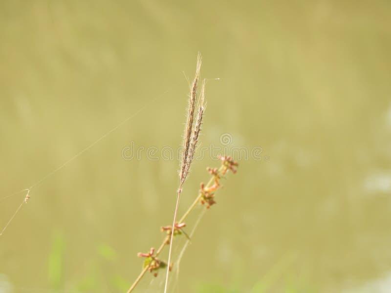 Ranunkelgräs arkivfoton