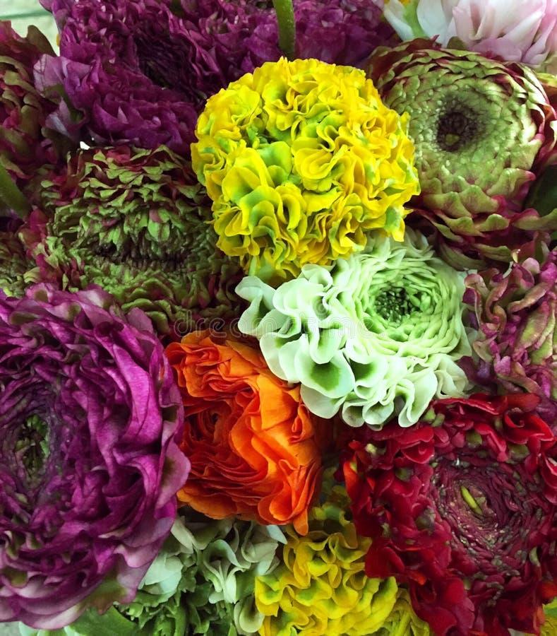 Ranunnculus colorido Alaranjado, amarelo, purpl, fundo branco das flores do ranúnculo fotos de stock royalty free