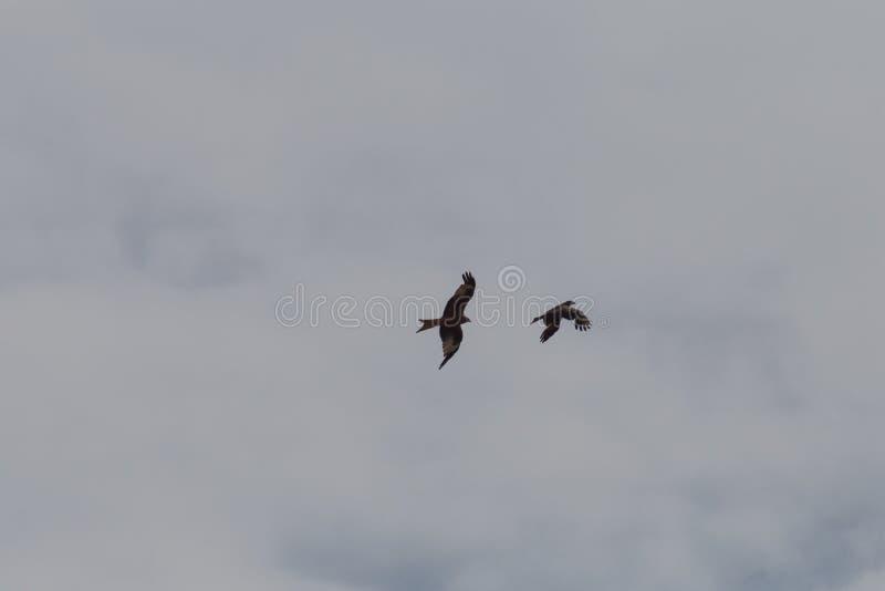 rapace come coppie in cielo blu di estate fotografie stock