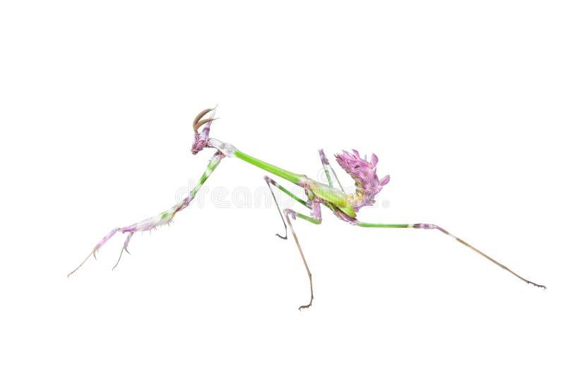 Rapace de mante avec de longues pattes antérieures pointues dans la pose d'attaque photographie stock libre de droits
