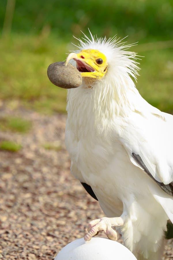 Rapace di percnopterus del Neophron dell'avvoltoio egiziano, rotture a fotografia stock libera da diritti