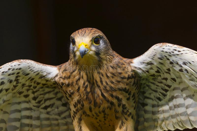 Rapace di tinnunculus del falco del gheppio immagine stock
