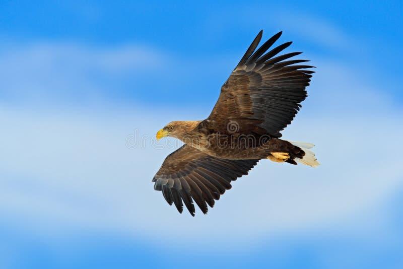 Rapace di volo, Eagle dalla coda bianca, albicilla del Haliaeetus, con cielo blu e le nuvole bianche nel fondo immagine stock