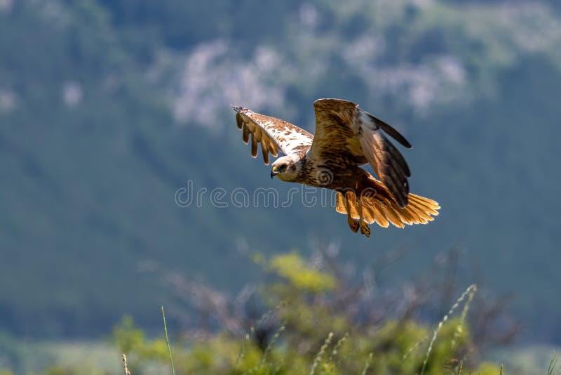 Rapaci - aeruginosus di Marsh Harrier Circus immagini stock libere da diritti