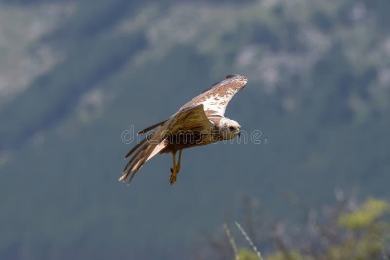 Rapaci - aeruginosus di Marsh Harrier Circus fotografia stock libera da diritti