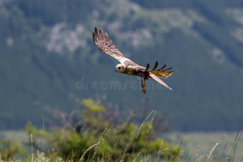 Rapaci - aeruginosus di Marsh Harrier Circus fotografie stock libere da diritti