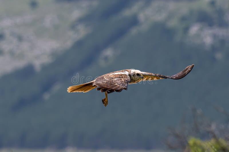 Rapaci - aeruginosus di Marsh Harrier Circus immagine stock