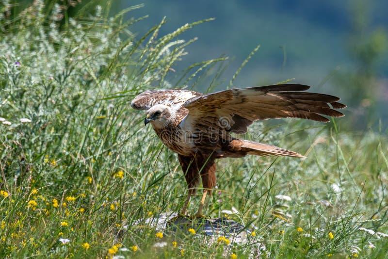 Rapaci - aeruginosus di Marsh Harrier Circus fotografia stock