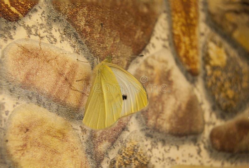 Rapae del Pieris de la pimienta blanca de la mariposa imágenes de archivo libres de regalías