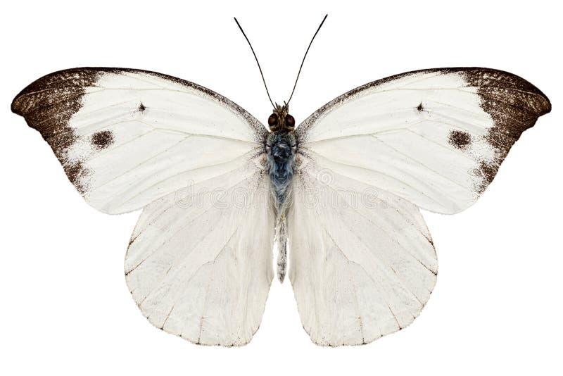 Rapae van de soortenPieris van de vlinder stock afbeeldingen