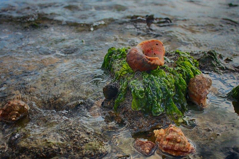 Rapana descasca durante la bajamar el mar después de Chan imagenes de archivo