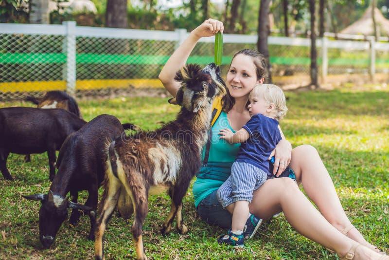 Rapaz pequeno bonito com sua cabra de alimentação da mamã na exploração agrícola imagem de stock royalty free