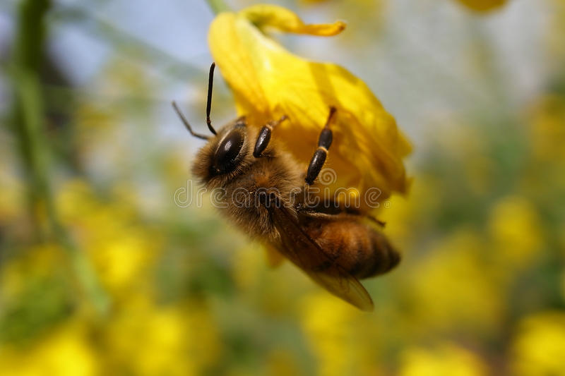 And Bee Stock Image