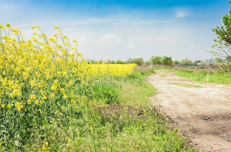 Rape blooms on the field Brassica Napus, with yellow flowers texture background, agricultural plant in Kiev region, Ukraine.  royalty free stock photo