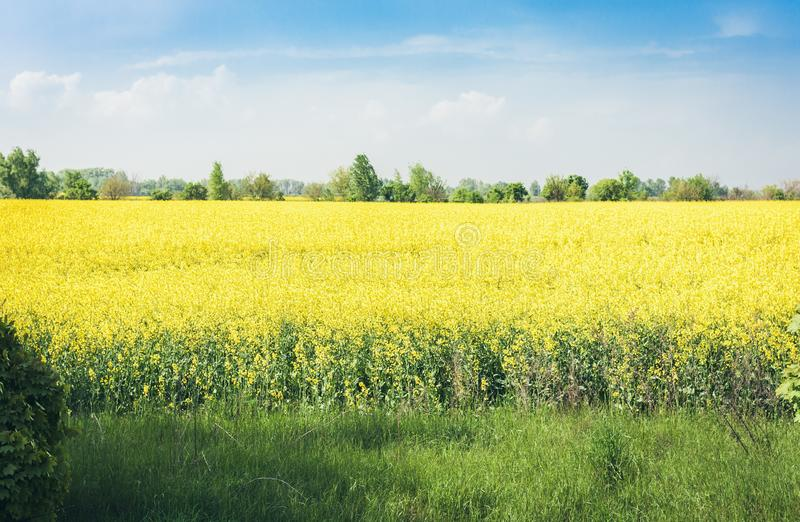 Rape blooms on the field Brassica Napus, with yellow flowers texture background, agricultural plant in Kiev region, Ukraine.  stock photography