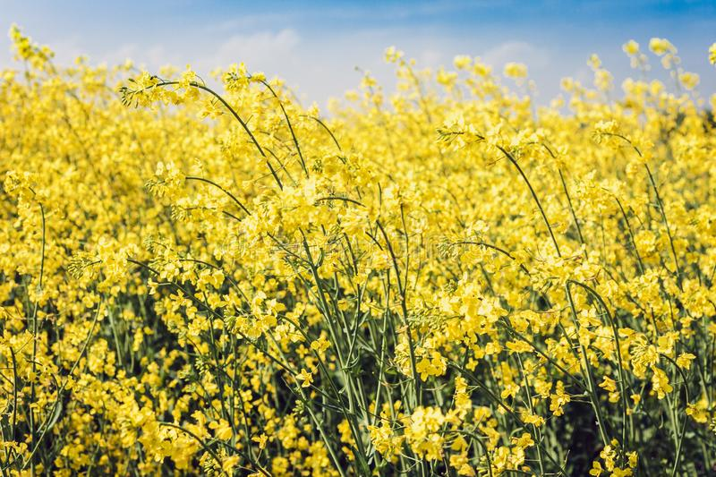 Rape blooms on the field Brassica Napus, with yellow flowers texture background, agricultural plant in Kiev region, Ukraine.  royalty free stock images