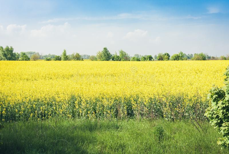 Rape blooms on the field Brassica Napus, with yellow flowers texture background, agricultural plant in Kiev region, Ukraine.  stock photo