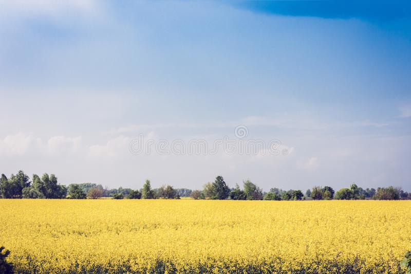 Rape blooms on the field Brassica Napus, with yellow flowers texture background, agricultural plant in Kiev region, Ukraine.  stock image
