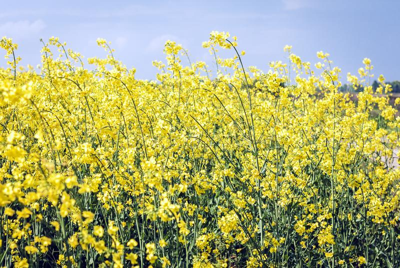 Rape blooms on the field Brassica Napus, with yellow flowers texture background, agricultural plant in Kiev region, Ukraine.  stock photos
