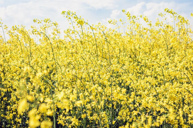 Rape blooms on the field Brassica Napus, with yellow flowers texture background, agricultural plant in Kiev region, Ukraine.  royalty free stock photography