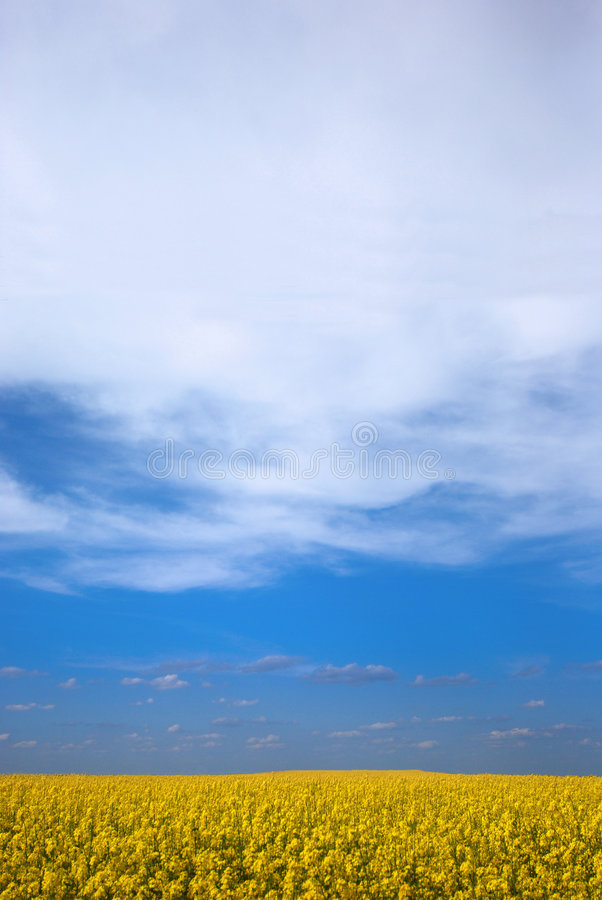 Rape, colza field. Vertical view on the (colza) field on the blue sky with beautiful clouds stock photography