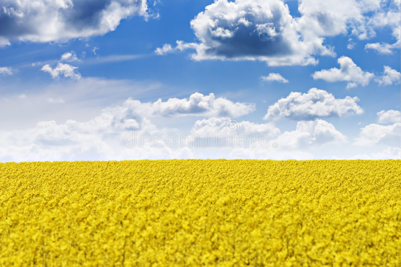 Download Field stock photo. Image of yellow, field, contrast, flower - 1835148